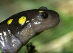 Spotted Salamander – Migration & Mating Frenzy