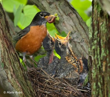 American Robin - adult feeding young © Marie Read