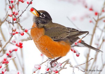 American Robin eating berry (Winterberry Holly) © Marie Read