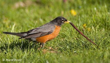 American Robin catching earthworm - © Marie Read