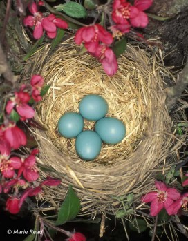 American Robin - nest with eggs © Marie Read