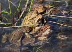 An Orgy of Toads
