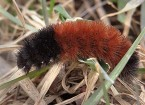 Wooly Worm Walk - featured image