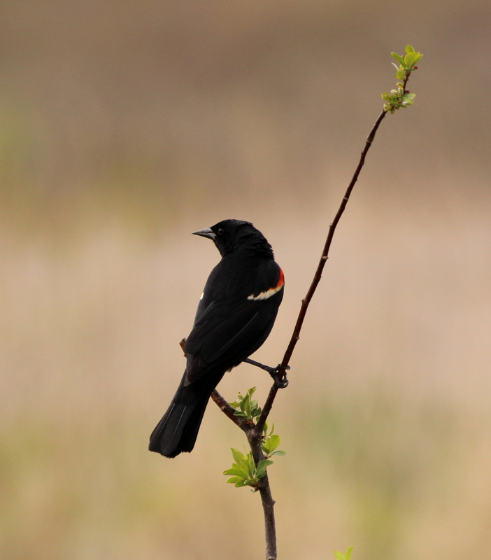 Red-winged Blackbird © Lisa Rainsong