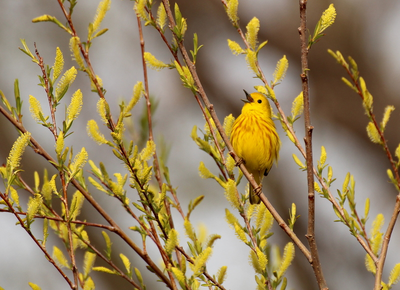 Singing Yellow Warbler © Lisa Rainsong