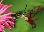 Clearwing Hummingbird Moth - featured image © Lang Elliott
