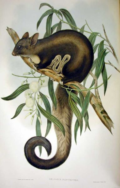 Painting of the Yellow-bellied Glider, Petaurus australis