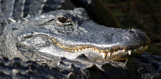 photo of alligator from the National Park Service