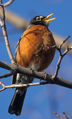 photo of American Robin by Lang Elliott