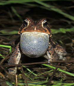 photo of an American Toad by Lang Elliott