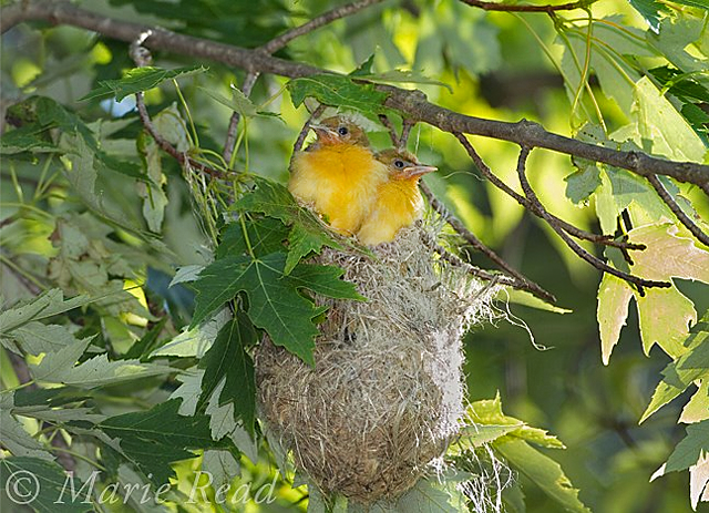 Photo of two Baltimore Oriole nestlings sitting stop their pendulous nest.