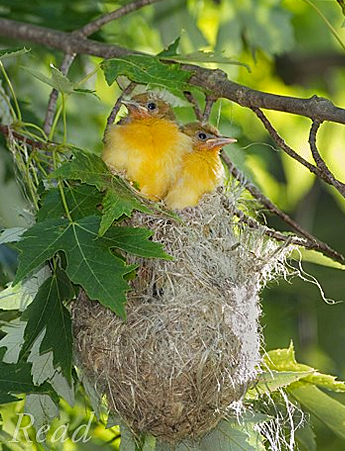 Photo of Baltimore Oriole nestlings © Marie Read