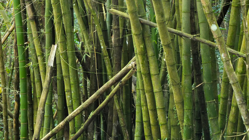 Bamboo Scene from El Yunque National Forest, Puerto Rico