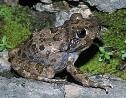 photo of a Barking Frog by Lang Elliott