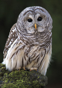 photo of Barred Owl from iStockPhoto