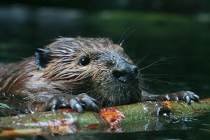 photo of American Beaver from iStock Photo