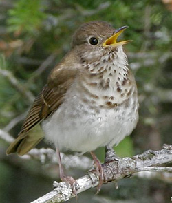 photo of Bicknell's Thrush © Larry Master