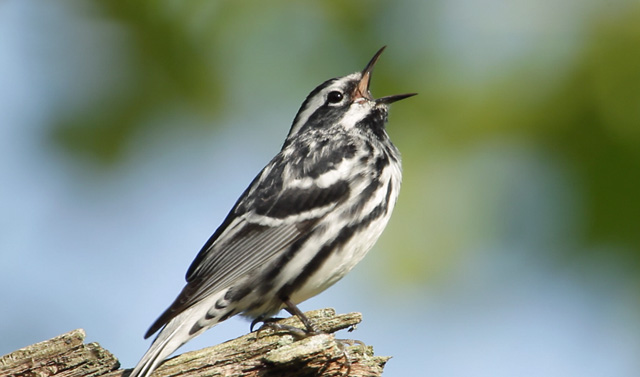photo of singing Black-and-White Warbler