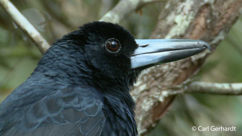 photo of Black Butcherbird