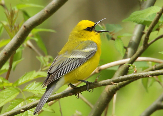 photo of Blue-winged Warbler