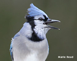 photo of a Blue Jay calling (by Marie Read)