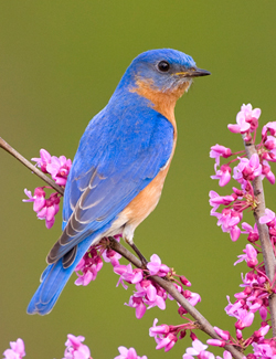 thumbnail photo of Bluebird by Marie Read