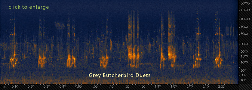 Sonogram of Grey Butcherbird duets