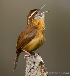 photo of a Carolina Wren in full song