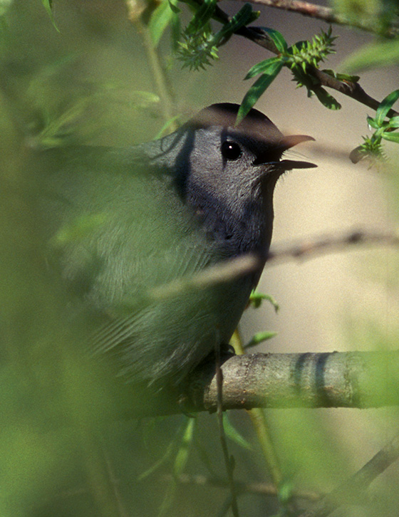 photo of a Gray Catbird in a shrub