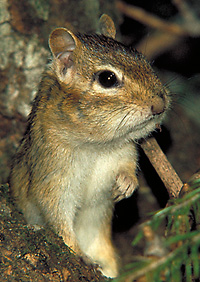 photo of an Eastern Chipmunk by Lang Elliott