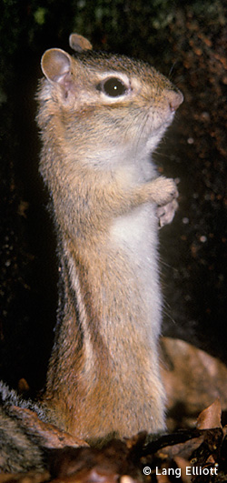 photo of Eastern Chipmunk standing © Lang Elliott