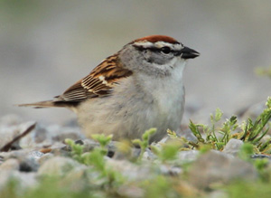 small photo of Chipping Sparrow on road