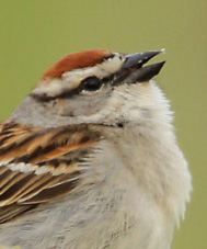 thumbnail photo of singing Chipping Sparrow
