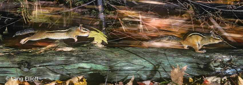 photo of one eastern chipmunk chasing another