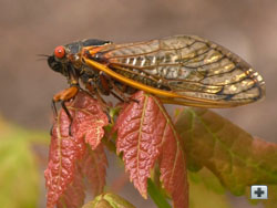 Periodical Cicada on a red maple leaf