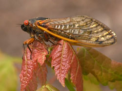 a photo of a Periodical Cicada on a red leaf
