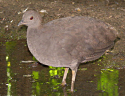 photo of Cinereus Tinamou by Raul Travassos (from Wikipedia)