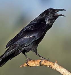 photo of a Common Raven by Brian Small