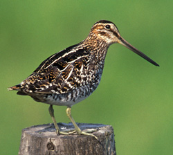 photo of a Common Snipe © Lang Elliott