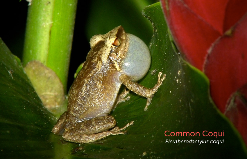 photo of Common Coqui