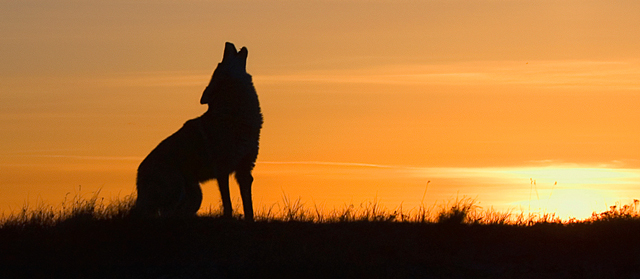 photo of a coyote howling at dawn (from iStockPhoto)