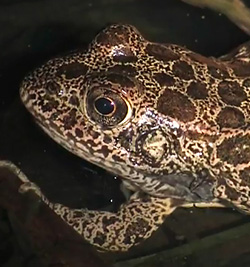 photo of Crawfish Frog © Carl Gerhardt