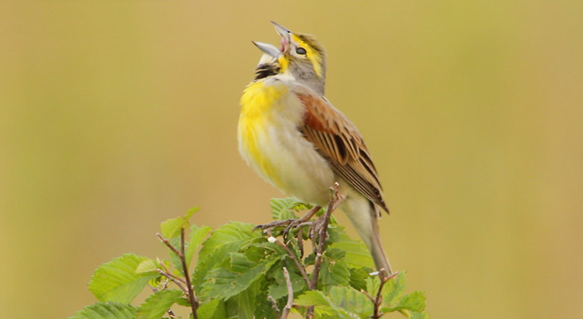 photo of a Dickcissel singing