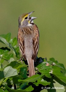 photo of a Dickcissel