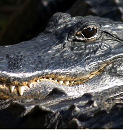 photo of Alligator (from iStock Photo)