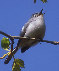 thumbnail photo of Blue-gray Gnatcatcher