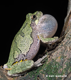 small photo of a Gray Treefrog, by Carl Gerhardt