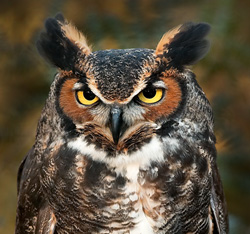 photo of Great Horned Owl © Wil Hershberger