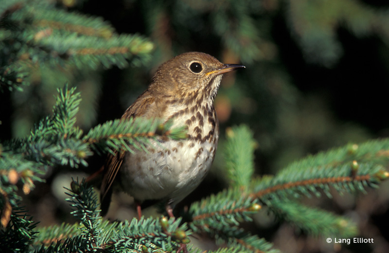 photo of the Hermit Thrush