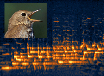 photo of Hermit Thrush with a sonogram of its song